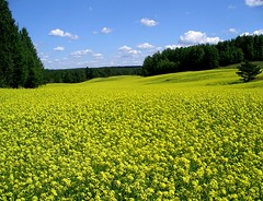 Rapeseedfield in Finland (swisscan) Tags: wood blue sky cloud plant tree nature field pine forest wow agriculture rapeseed peopleschoice abw themoulinrouge naturesfinest supershot flickrsbest specnature 35faves abigfave 30faves30comments300views anawesomeshot impressedbeauty superaplus aplusphoto superbmasterpiece favemegroup3 diamondclassphotographer flickrdiamond megashot superhearts colourartaward thegoldenmermaid thegardenofzen world100f