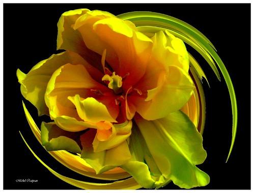 Tulipe 2007