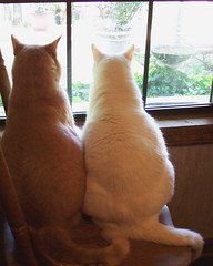 PLEEEEEASE Let Us Go Outside! (Gail S) Tags: window pinky fatboys thepuss catsandwindows