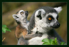 Baby Lemur (hvhe1) Tags: baby nature animal bravo searchthebest quality wildlife maki young lemur ringtailedlemur interestingness10 outstandingshots specanimal animalkingdomelite outstandingshotshighlight hvhe1 hennievanheerden superbmasterpiece flickrdiamond bratanesque