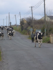 Cows on a Sligo Road