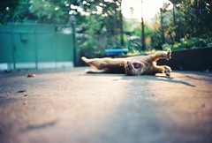 By my brother's Lomo (Ying Venus) Tags: cat lomo yellowcat thekiller lmaoanimalphotoaward
