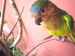 canaima parakeet (nicholaslaughlin) Tags: bird venezuela parakeet canaima gransabana estadobolivar