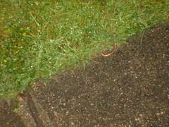 SD530112.JPG (blibbler) Tags: weird worm worms behaviour