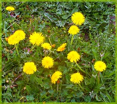 Spring - lente (Franc Le Blanc .) Tags: flower yellow spring lente dandelions taraxacum drunen
