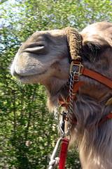 Kamel på Bronx Zoo