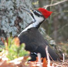 Pileated_20070421_118 (mrBobBaker) Tags: usa birds virginia woodpecker wildlife feeders birdwatching pileated canons2is backyardpictures robertjbaker