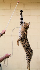 African Serval - by jurvetson