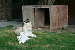Semeistvo (Vanya Simeonova) Tags: lionpark