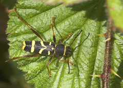 """Wasp Beetle (Clytus arietis)(3) • <a style=""""font-size:0.8em;"""" href=""""http://www.flickr.com/photos/57024565@N00/482725314/"""" target=""""_blank"""">View on Flickr</a>"""