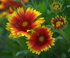 Firewheel Flower (ScreaminScott) Tags: flowers red macro yellow closeup gaillardia firewheel indianblanket