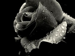 for you... (B@ni) Tags: roses bw white black flower detail love nature floral beautiful rose turkey bravo pretty awesome trkiye natur rosa natura drop valentine petal turquie trkei gl beyaz turkije turquia tyrkiet turchia iek sevgi turkki turkiet siyahbeyaz siyah tyrkia detay tyrkland elagance potwkkc34 damlar tayapra