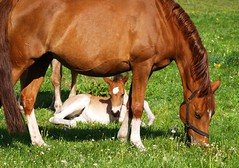 Little cutie (Batram) Tags: horses brown green topf25 germany bravo flickr photos foal interestingness10 magicdonkey batram abigfave 24hoursofflickr 552007