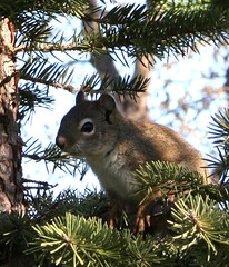 squirrel in spruce 2