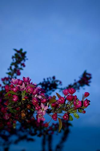 blossoms, dusk