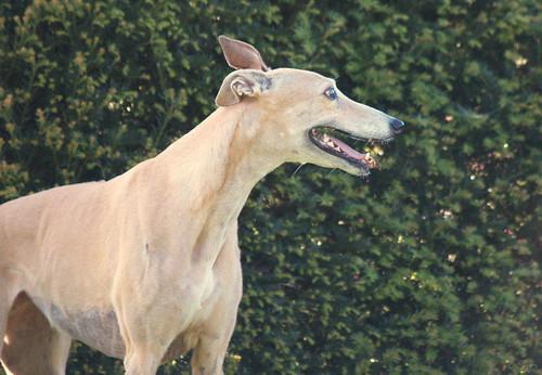 Greyhound, Selona