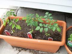 Tomatoes May 07
