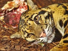 [フリー画像] [動物写真] [哺乳類] [ネコ科] [豹/ヒョウ]       [フリー素材]