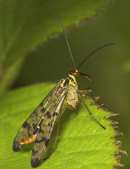 """Female Scorpion Fly (panorpa germanic(3) • <a style=""""font-size:0.8em;"""" href=""""http://www.flickr.com/photos/57024565@N00/496758410/"""" target=""""_blank"""">View on Flickr</a>"""