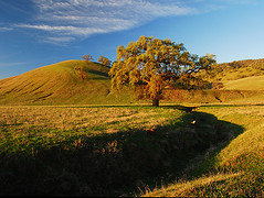 Valley Oak at Sunrise (BlueOakPhotos) Tags: california morning light foothills tree grass landscape oak quercus bravo searchthebest central hills valley sacramento jesters sacramentovalley naturesfinest lobata quercuslobata blueoakphotos