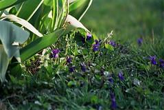 shadow (M_J_A_Graf) Tags: flowers garden nikon kwiaty f55