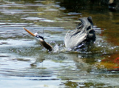 Bathtime For Heron (shesnuckinfuts) Tags: bird heron washington fishing preening wa bathtime greatblueheron springtime ardeaherodias backyardpond naturesfinest kentwa blueribbonwinner featheryfriday ilovebirds specanimal may2007 shesnuckinfuts anawesomeshot washingtonstateoutdoors animalencountersscroll