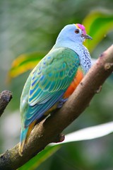 Ptilope  diadme, Ptilinopus regina (Rose-crowned Fruit-Dove) (Don-Jean Landri) Tags: 2005 australie ptilinopusregina ptilinopus rosecrownedfruitdove territoiredunordaustralie ptilopediadme