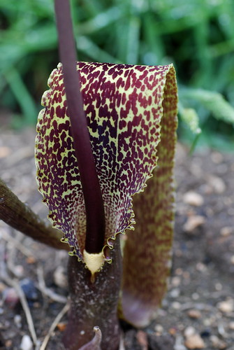 Sauromatum guttatum, Voodoo lily