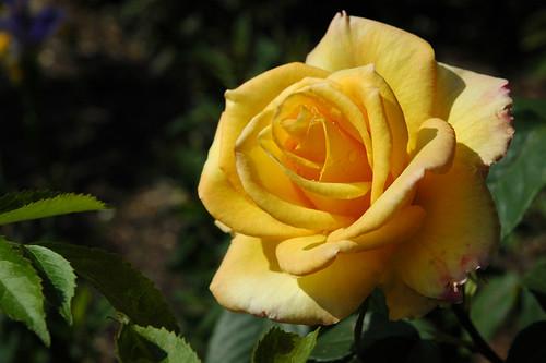 """Rose (""""Gold Medal"""")"""