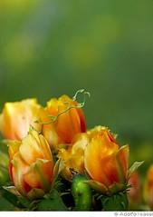 Summer Prelude No 11 (adolfo_isassi) Tags: flowers cactus orange nature cacti austin texas prayerwheel wildflowers nopal americansouthwest austinnature holtsalev5x7