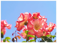 Rose 070520 #11