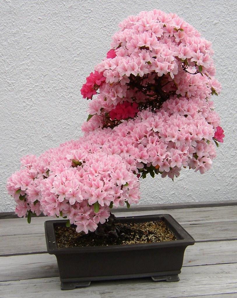 Фото цветов бонсай