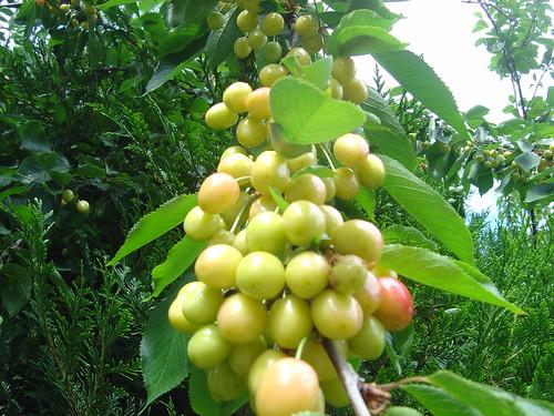 Cherries 2007