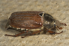 """Cockchafer (Melolontha melolontha)(5) • <a style=""""font-size:0.8em;"""" href=""""http://www.flickr.com/photos/57024565@N00/509646700/"""" target=""""_blank"""">View on Flickr</a>"""