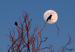 mooncrow (artfilmusic) Tags: moon nature fullmoon crow