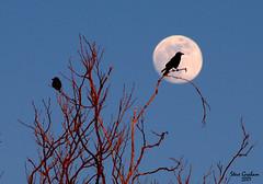 mooncrow (artfilmusic) Tags: moon nature fullmoon crow