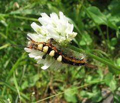 ヒメシロモンドクガ (kobayan54) Tags: 虫