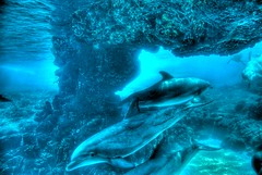 Dolphins (Kimberly Dickinson) Tags: blue orlando underwater florida dolphins seaworld animalplanet photomatix supershot frhwofavs theunforgettablepictures betterthangood