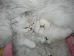 In fur's mommy (catherine.caf) Tags: cat persian kitten chat coolest chaton persan cc200 cc100