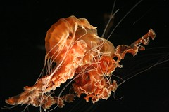 two (The_cheeseman) Tags: california usa canon aquarium monterey dance jellies jellyfish montereybay sealife jelly rebelxt animalplanet 2pair alemdagqualityonlyclub