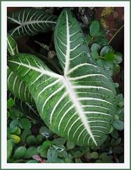 Variegated leaves of Caladium lindenii