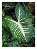 Caladium lindenii 'Magnificum' (Angel's Wing, Indian Kale)