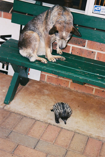 Dog vs Echidna