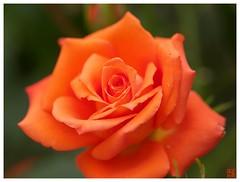 Orange Rose #06