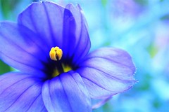 rhapsody (*sapa*) Tags: blue music flower green blossom mygarden longfellow rhapsody naturesfinest explore10 tickleu loveusaplol