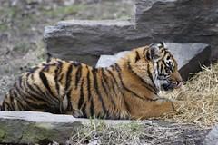 Sumatran Tiger ($$-- Vee --$$) Tags: sumatrantiger torontozoo canonef70200mmf28lisusm