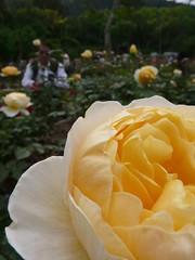 黃玫瑰與攝影人