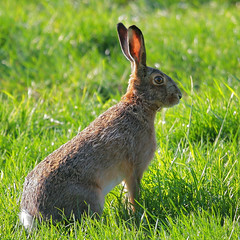 Easter bunny - paashaas (webted) Tags: grass animal no thenetherlands meadow ears gras fav dier easterbunny oren zeist weiland bunnik paashaas novideo helluva specanimal wowiekazowie novideoonflickr