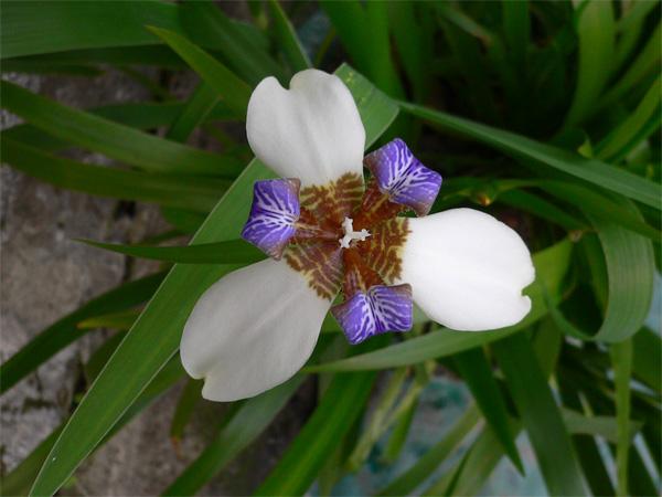 白色鳶尾花