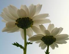we are white (H e r m e s) Tags: sky white flower green blume papatya